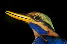 Rufous-collared Kingfisher (Actenoides concretus) Head detail of a male on hand.