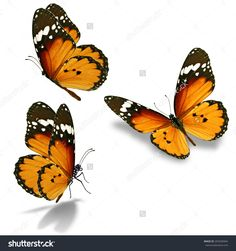Three Orange Butterfly Isolated On White Background Стоковые фотографии 265506944 : Shutterstock