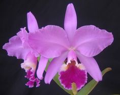 Cattleya labiata species type form