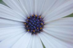 Dag 18 #35dagen #Midden #synchroonkijken18 Het hart/midden van een mooie witte spaanse margriet.