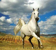 cavalo árabe branco                                                                                                                                                                                 Mais