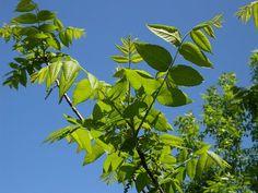 FRUNZELE de NUC ''ard'' grăsimile – cum trebuie folosite corect în curele de slăbire - Top Remedii Naturiste Aloe Vera, Plant Leaves, Plants, Orice, Home, Plant, Planets