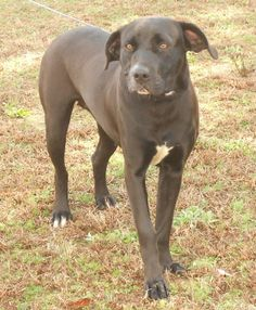 N.CAROLINA ~ URG'T ~ GASSING SHELTER ~ EUTH DATE FRI 1.11 ~  Pandora ID ARN 12-D0933 ~ a beautiful 1 year old #LabradorRetriever   Intake Date 12/17/2012   ...    Sampson County Animal Shelter  Clinton, NC   To #adopt or rescue  contact Sampson County Animal Shelter  168 Agriculture Place, Clinton, NC.  (910) 592-8493 M-F 1-4 pm  ~~ animalshelter@sampsonnc.com