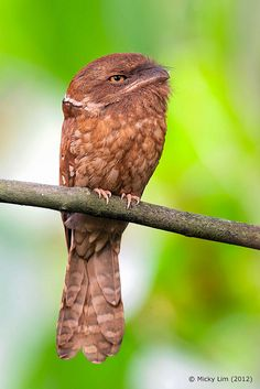 ~~Gould's Frogmouth (Batrachostomus stellatus) by Micky Lim~~