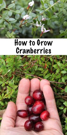 Potager Garden How to grow cranberries. Grow your own perennial cranberry bushes right in your back yard. Plant once and harvest homegrown cranberries for many years to come. Organic Gardening, Gardening Tips, Vegetable Gardening, Kitchen Gardening, Gardening Courses, Veggie Gardens, Flower Gardening, Growing Mint, Gardens