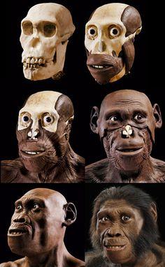 Australopithecus sediba - MH1 - reconstruction by John Gurche
