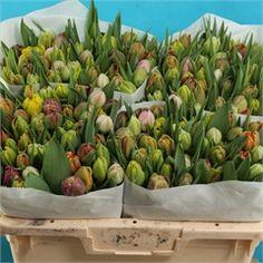 Tulips Rainbow Mix