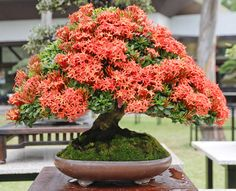 Gorgeous Pemphis Bonsai in the BCI Convention 2016 in the Philippines. These pretty plants are native to the country and were in plentiful supply at this exhibition. Bougainvillea Bonsai, Flowering Bonsai Tree, Bonsai Tree Care, Indoor Bonsai Tree, Mini Bonsai, Bonsai Plants, Bonsai Garden, Garden Trees, Trees To Plant