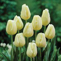 Cheers Tulip Variety Ivory