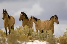 Steens Kiger Mustang