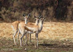 gazelles (Assaf Cohen) #NIKON D7200 #animals #photo #nature