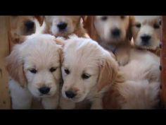 Golden retriever Puppies   Week 7   Very Cute!