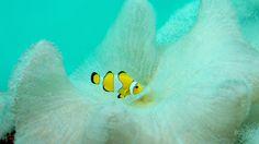 Clownfish - SONY DSC