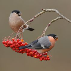 A pair of Bullfinch feeding on Winter Berries John Barlow, Bird Sightings, Parus Major, Bullfinch, Rare Birds, Bird On Branch, Colorful Birds, Animal Drawings, Drawing Animals