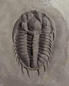 Name: Dorypyge swasii (Sundberg, 1994) Trilobites Order Corynexochida, Family Dorypygidae Locality: Drum Mountains, Millard Co., Utah Stratigraphy: Pierson Cove Formation (Wheeler Fm.), Middle Cambrian