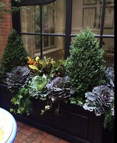 Invest in a pair of good-sized boxwood that can by shaped by simple pruning into a cone such as these Winter Gem Boxwood and add cascades of English Ivy to a elegant trough planter.In fall, pull out tired annuals and swap in dark and light hued ornamental cabbages along with orange and yellow crotons. The crotons and Compact Sprenger Asparagus Fern peaking out can come inside at the first hint of frost, but the rest will thrive all winter.