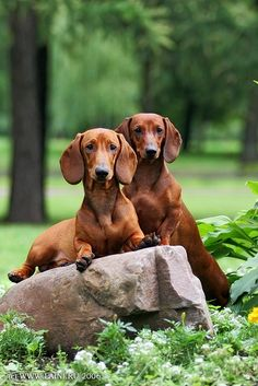 Pair of Smooth-coated Dachshunds ------- (Laini and Samin Photography)