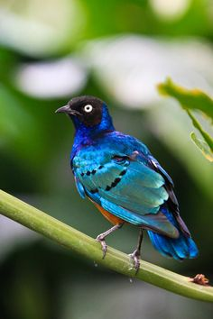 The superb starling (Lamprotornis superbus) is a member of the starling family of birds. It can commonly be found in East Africa, including Ethiopia, Somalia, Uganda, Kenya, and Tanzania.