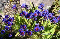 Baboon Flower (Babiana rubrocyanea). Bulbs, mid-spring, fragrant