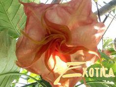 Brugmansia Angels Inspiration | Plantencentrum Exotica Angels, Inspiration, Biblical Inspiration, Angel, Angelfish, Motivation