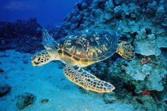 Sea Turtle  -  John Pennekamp Coral Reef State Park  -  Key Largo, Florida  USA