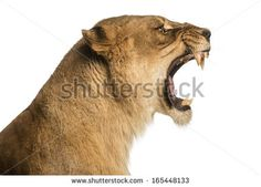 Close-up of a Lioness roaring profile, Panthera leo, 10 years old, isolated on white - stock photo