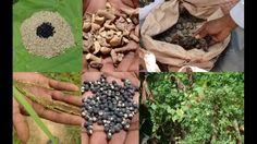 Tribal Medicines of Gandhamardan Hills for Cissus- Barleria Toxicity: Fi...