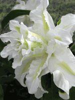 'Lodewijk' - Oriental Hybrid Lily Bulb