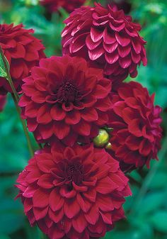 'Hockley Maroon' dahlia, blooming now. From Old House Gardens Heirloom Bulbs