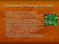 Chitrakmool (Plumbago Zeylanica) <ul><li>It is Pungent, astringent, diuretic, germicidal, vesicant and abortifacient. It o...