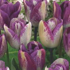 Tulip Shirley Dream