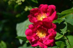 Valamonruusu | Vesan viherpiperryskuvat – puutarha kukkii