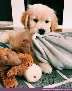 Facts On The Friendly Golden Retriever Pup Super Cute Puppies, Cute Little Puppies, Cute Dogs And Puppies, Cute Little Animals, Cute Funny Animals, Baby Dogs, I Love Dogs, Doggies, Funny Pets