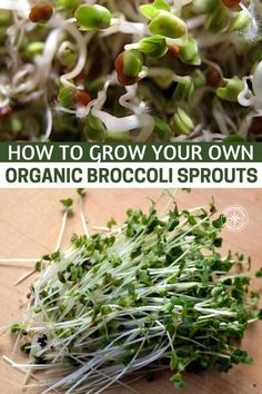 How to Grow Your Own Organic Broccoli Sprouts – Sprouting them at home is the way to go and this article offers some great information on just how to do that. The other interesting fact about broccoli sprouts is that… Continue Reading → Sprouting Seeds, Planting Seeds, Home Vegetable Garden, Herb Garden, Organic Gardening, Gardening Tips, Fairy Gardening, Gardening Vegetables, Greenhouse Gardening