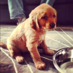baby golden retriever puppy, Daisy :)