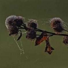Ochtenddauw op #GroteKlis Morning dew on #GreaterBurdock #bd_plants #bestnatureshot #naturelover #nature_seekers #bns_flowers