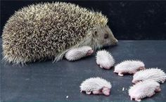 mom hedgehog and her tiny babies