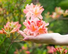 Azaleas and Rhododendrons are highly popular ornamental shrubs that can be very impressive in the rock garden. Mixed with herbaceous perennials or combined with other small woody plants, they Types Of Soil, Types Of Plants, Rhododendron Care, Acid Loving Plants, Planting Shrubs, Herbaceous Perennials, Garden Borders, Garden Care, Spring Garden