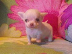 Teacup Chihuahua Newborn Puppies