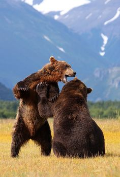 earthandanimals:      Brown Bears - Katmai - Alaska by Scott Cromwell