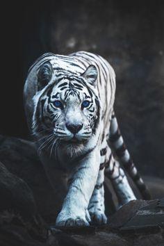 ~~White Tiger Hunting by Mike Kolesnikov~~