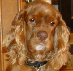 Donovan is an adoptable Cocker Spaniel Dog in The Woodlands, TX. Donovan is a two year old male. He has such a handsome red coat, he's frequently called Redmon around his foster home. Donovan is an ac...