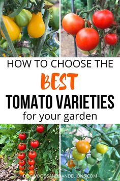 There are many kinds of tomatoes you can grow in your garden. But choosing the best ones can be difficult. This post shares how to find the best varieties for your garden. Types Of Tomatoes, Varieties Of Tomatoes, Small Tomatoes, Healthy Fruits And Vegetables, Organic Vegetables, Growing Vegetables, Veggies, Growing Tomato Plants, Growing Tomatoes