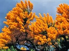 Nuytsia floribunda or the West Australian Christmas tree Nuytsia floribunda Australian Wildflowers, Australian Flowers, Leaf Flowers, Wild Flowers, Australian Christmas Tree, Names Of Artists, Perth Western Australia, Small Trees, Flowering Trees