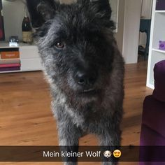 #Duke #Hollandseherder #Herder #dogs #dog #cute #welpe #10month #der_dukie  #holländischerschäferhund #dogsofinstagramsg #dogsofinstagram #workingdog #dutchshepard #friends #dogtraining #Hollandseherder #herdershond #doglife #dogs