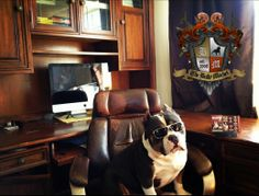 It's Monday and Beastro the American Bully Boss is back to business.