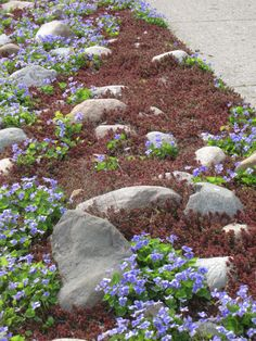 hell strip - creeping sedum and violets and rocks. no maint.