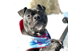 SAFE ! - 01/08/14  Manhattan Center -P  BRODY A0988453 Neutered male black black & boxer mix 1 YR 5 MTHS  OWNER SUR 12/29/13  Compact little guy . Friendly to all animals, knows 'sit' and 'lie down', and is active and playful. It's clear that he loves people. Aced his behavior assessment indicating he may be a good fit in just about any home. His small size and friendly, affectionate personality should make him a welcome addition in any family.