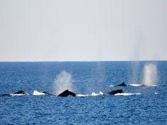 Ballenas viajando por el océano