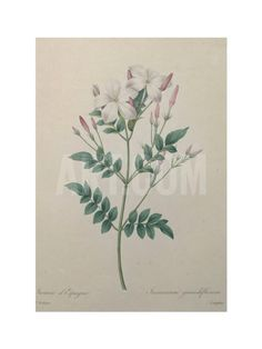 Spanish Jasmine Art Print by Pierre-Joseph Redoute at Art.com